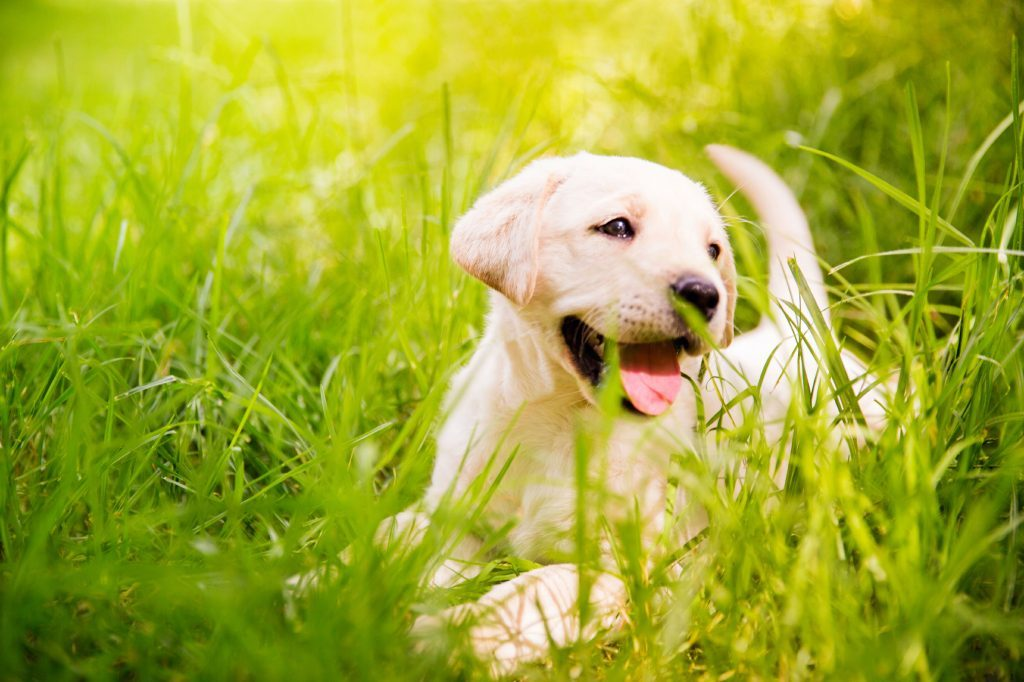 yellow lab puppy lying in the grass