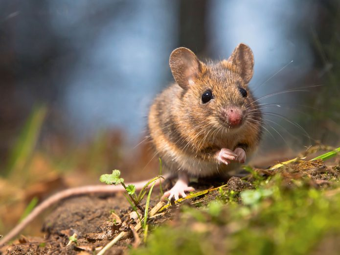 mouse in the woods
