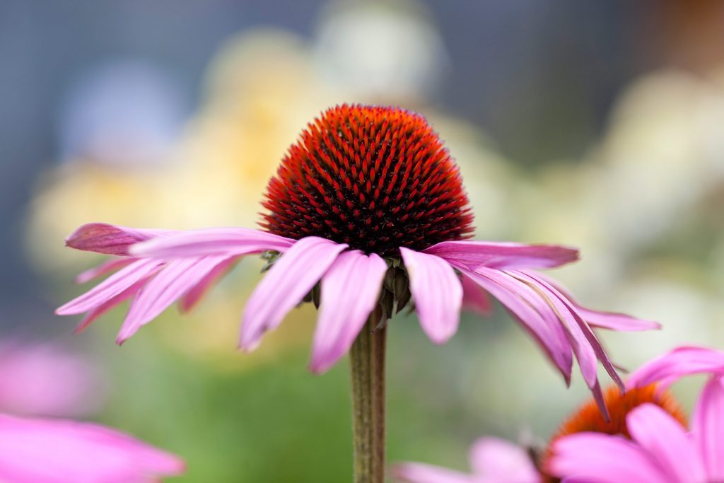 Lovely pink flower known as coneflower or echinacea