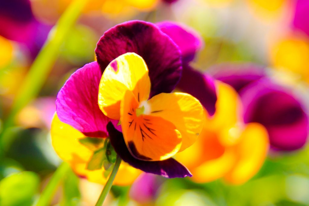 pretty purple and yellow flower