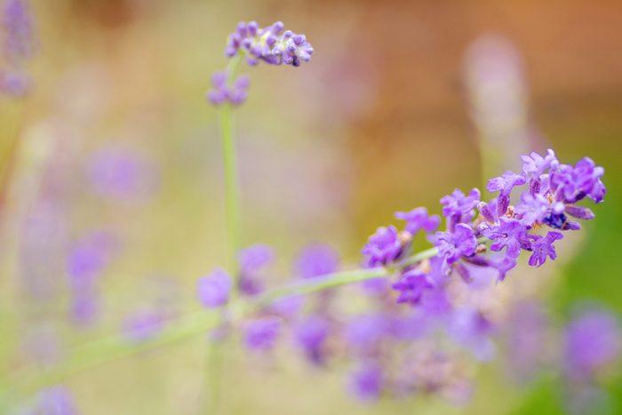 pretty purple lavender plant