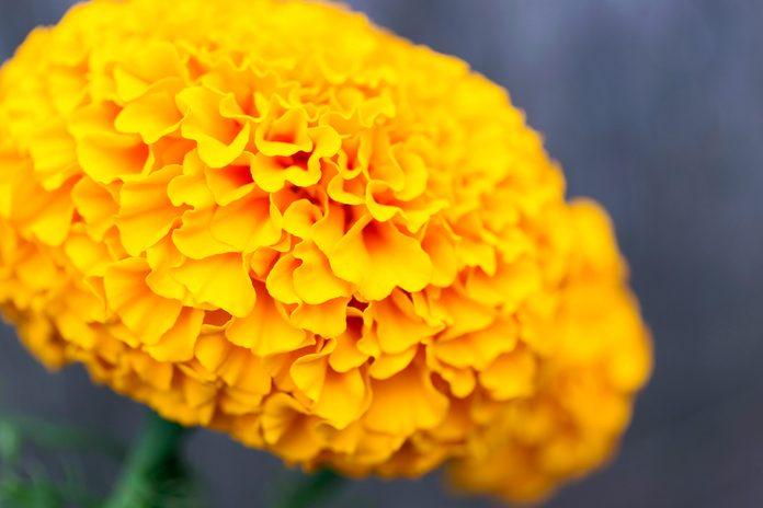 pretty yellow marigold flower