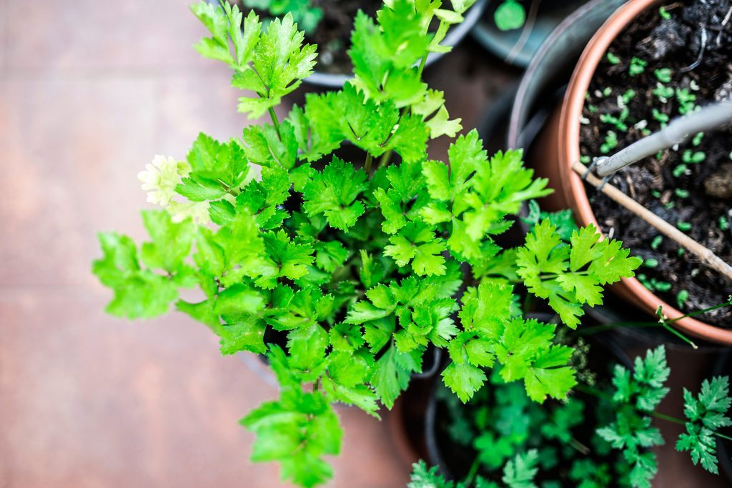 leafy green parsley plant in pot