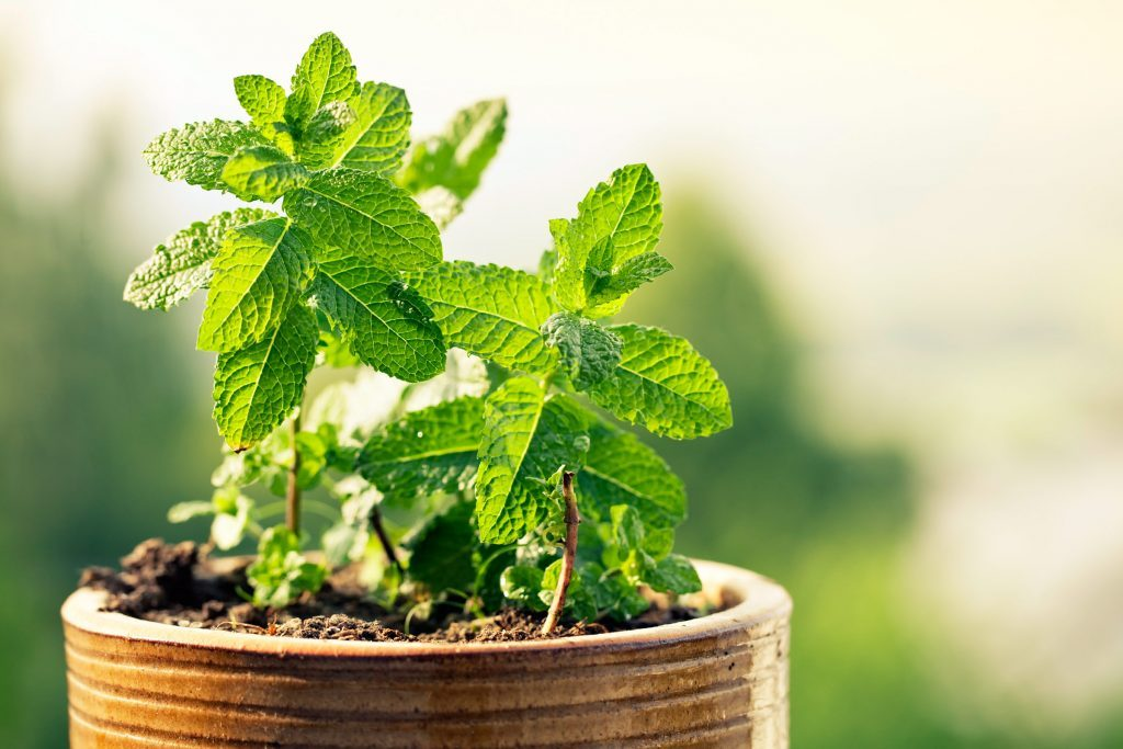 green leafy peppermint plant growing in pot