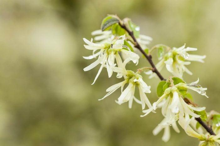 witch hazel blossoms