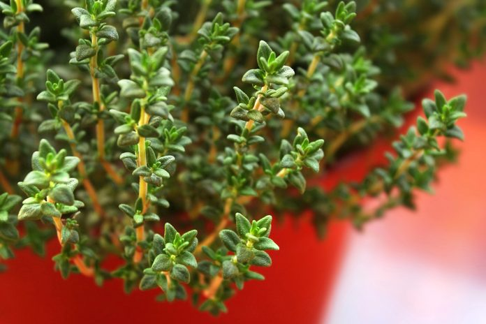 leafy green thyme plant growing in red pot
