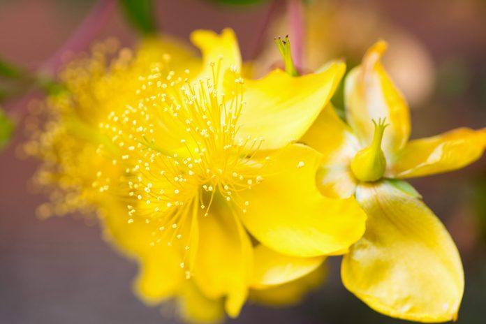 pretty yellow flowers of St. John's wort