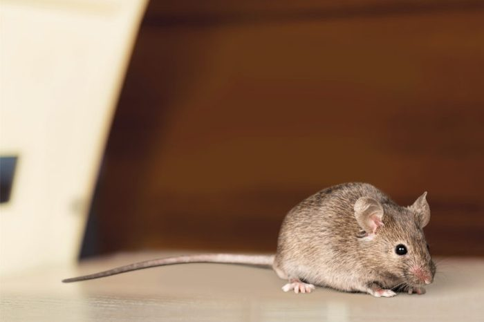 outdoor critters and rodents mouse