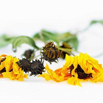 Benefits of Arnica: The Anti-Inflammatory Herb That Heals Bruises