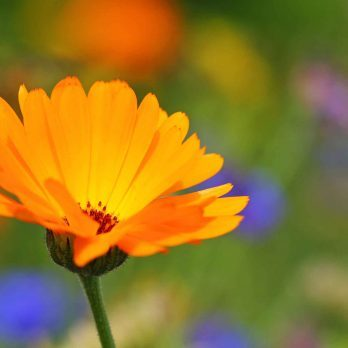 Benefits of Calendula: An Ancient Skin Soother With Science on Its Side