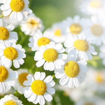 Feverfew: A Natural Headache Cure