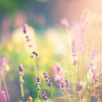 Lavender Oil: Harness the Healing Powers of This Fragrant Herb