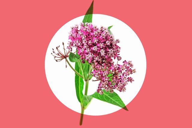 fresh milkweed