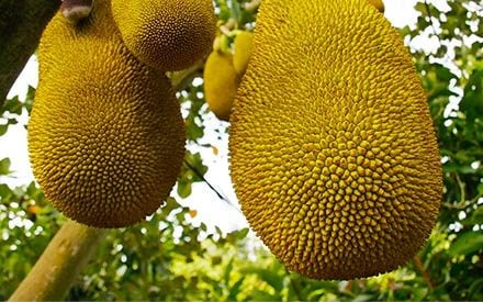 What the Heck Is Jackfruit, and Why Is It the New Meat Replacement?