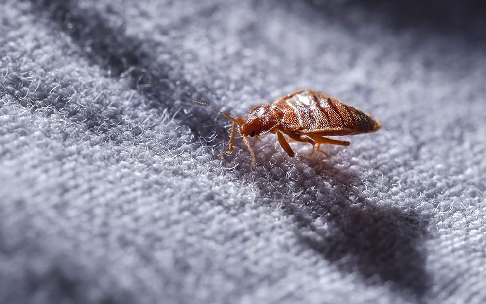 How Do You Know If You Have Bedbugs The Healthy