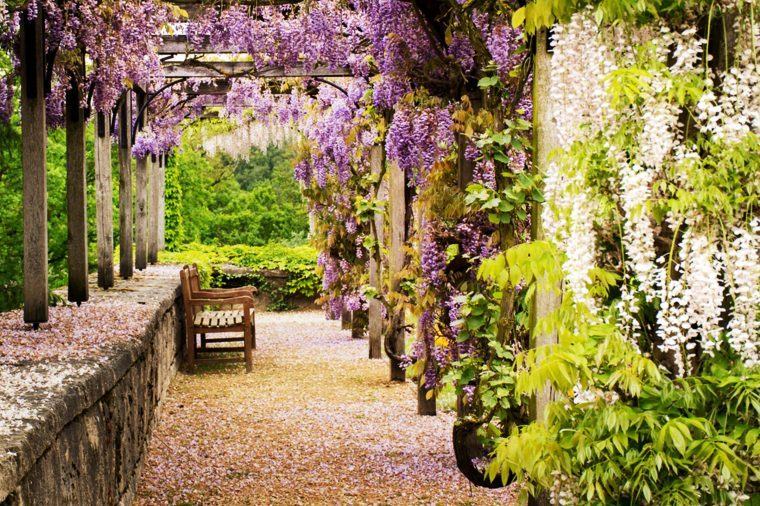 purple wisteria in lovely garden