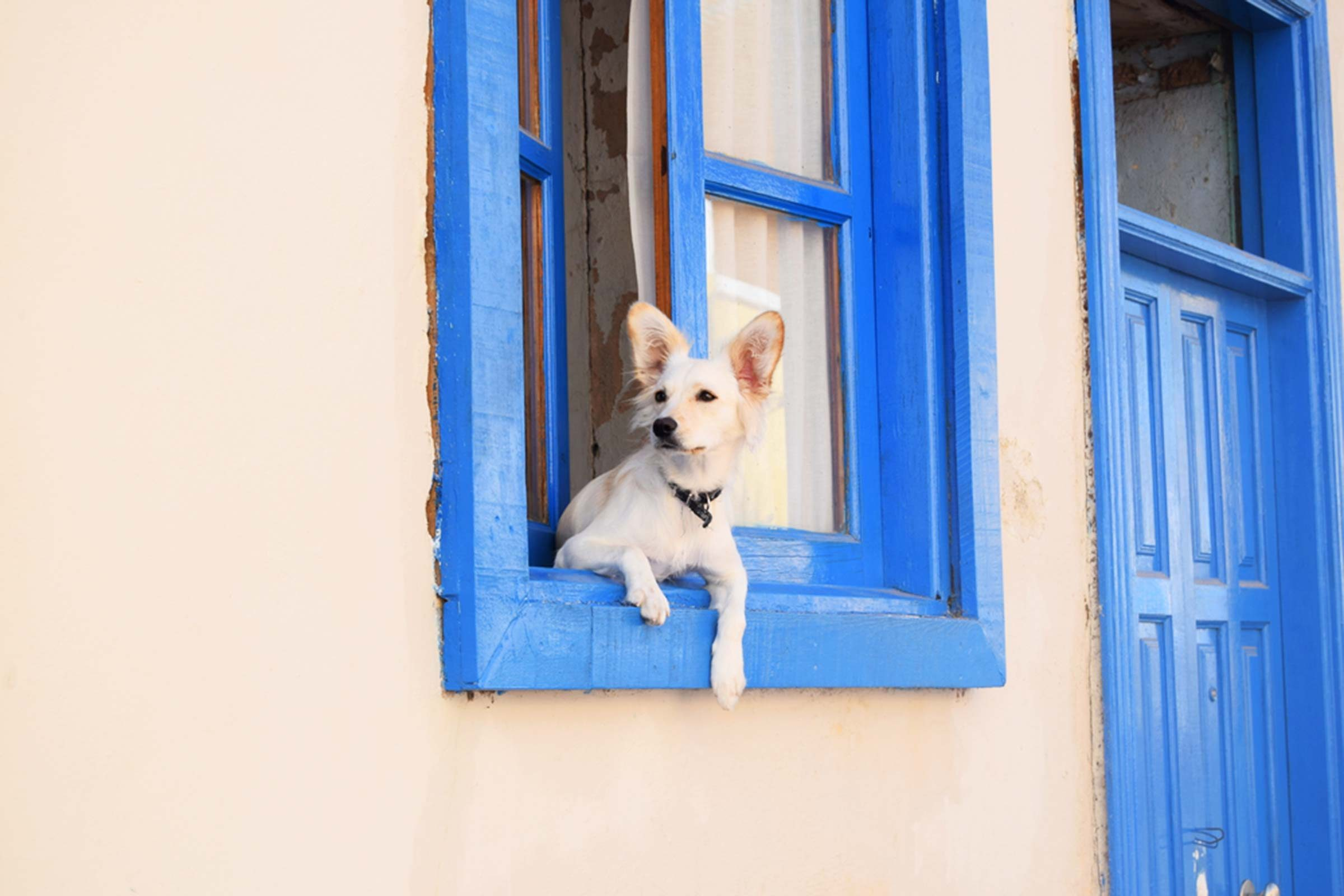 White dog with point ears looking out blue window