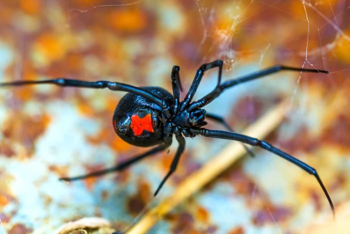 close up of bottom of black widow spider with red hour glass marking on abdomen
