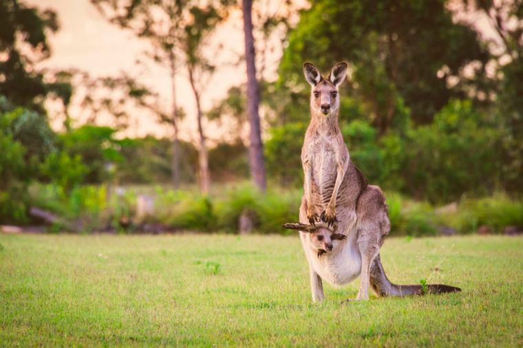 mother kangaroo with kid in her pouch