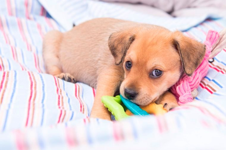 this is the cutest little brown puppy snuggled in covers with a chew toy
