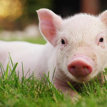 Believe It or Not, Pigs Could Soon Be Organ Donors for Humans—Here's How