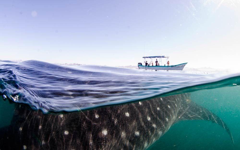 shark-under-boat