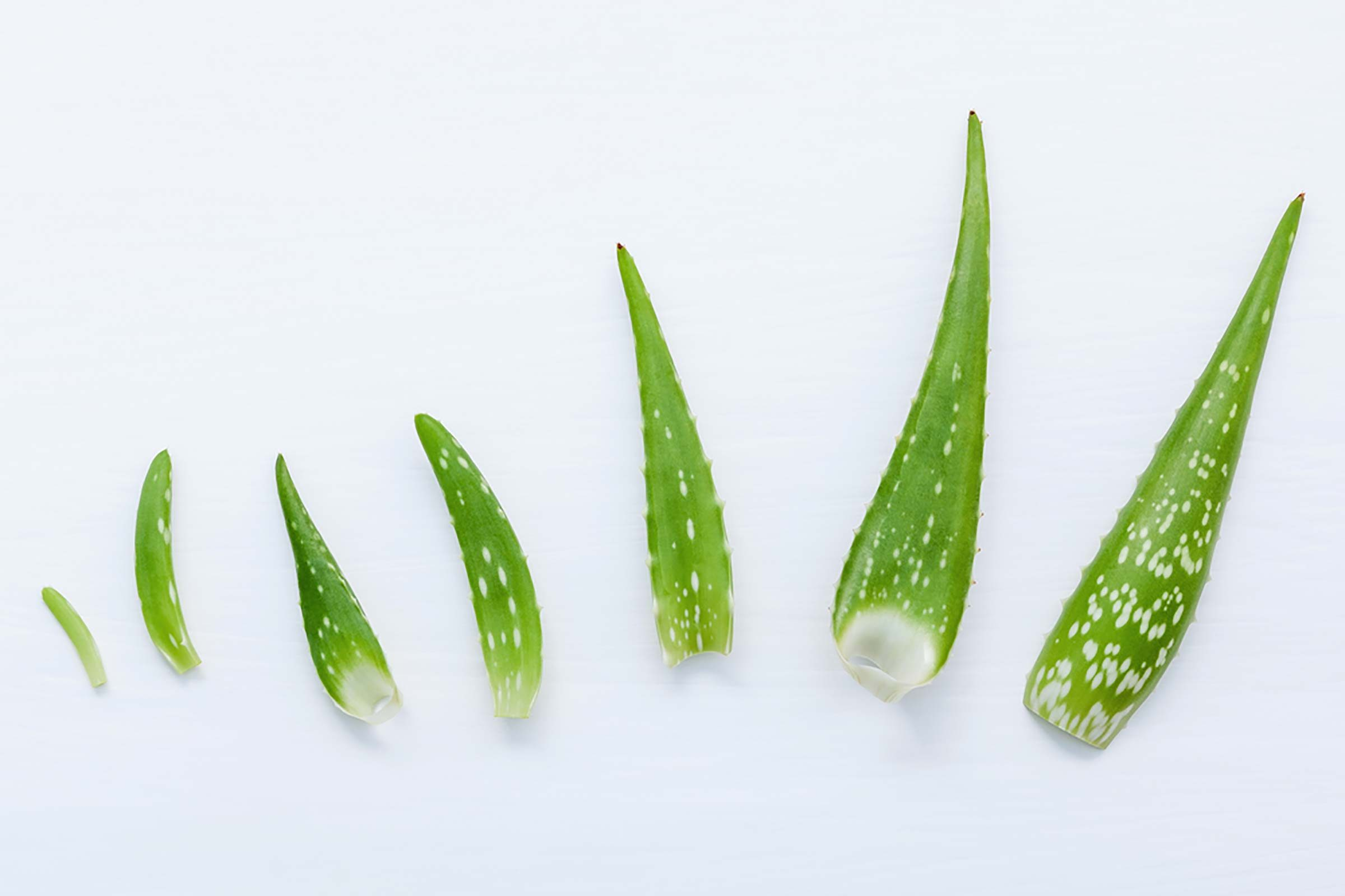aloe vera fronds on a white background