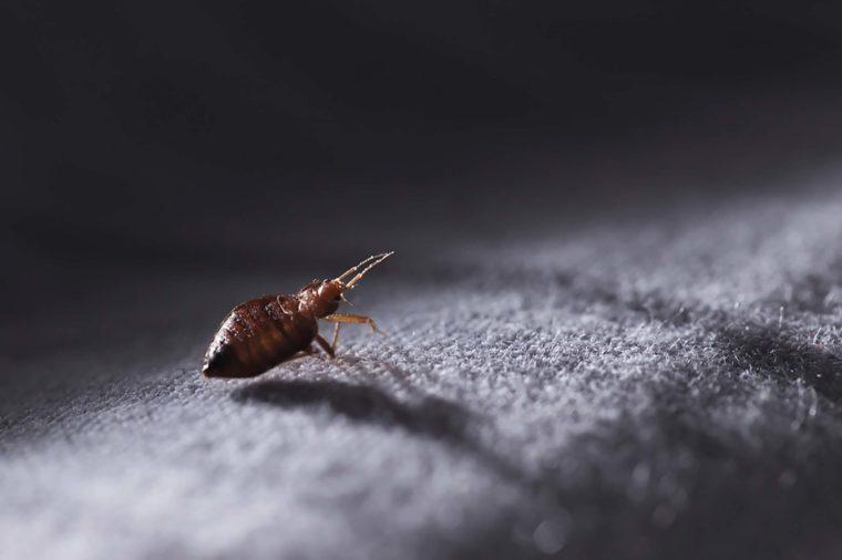 A bed bug walking on carpet.