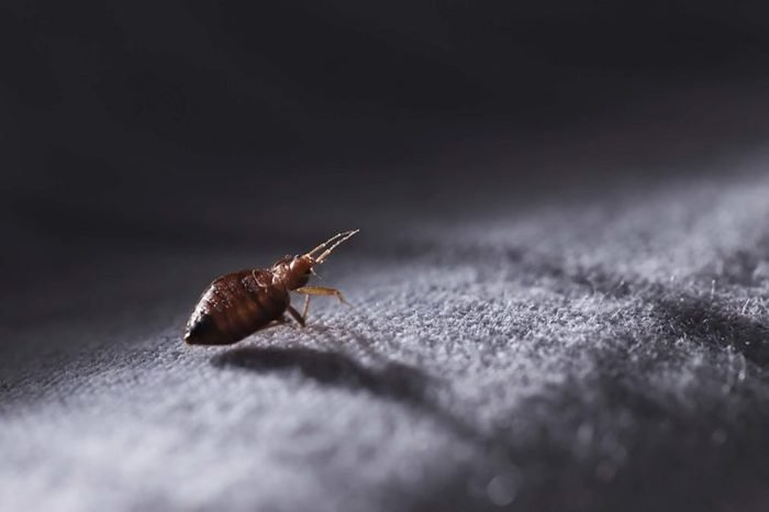 A bed bug walking on carpet.