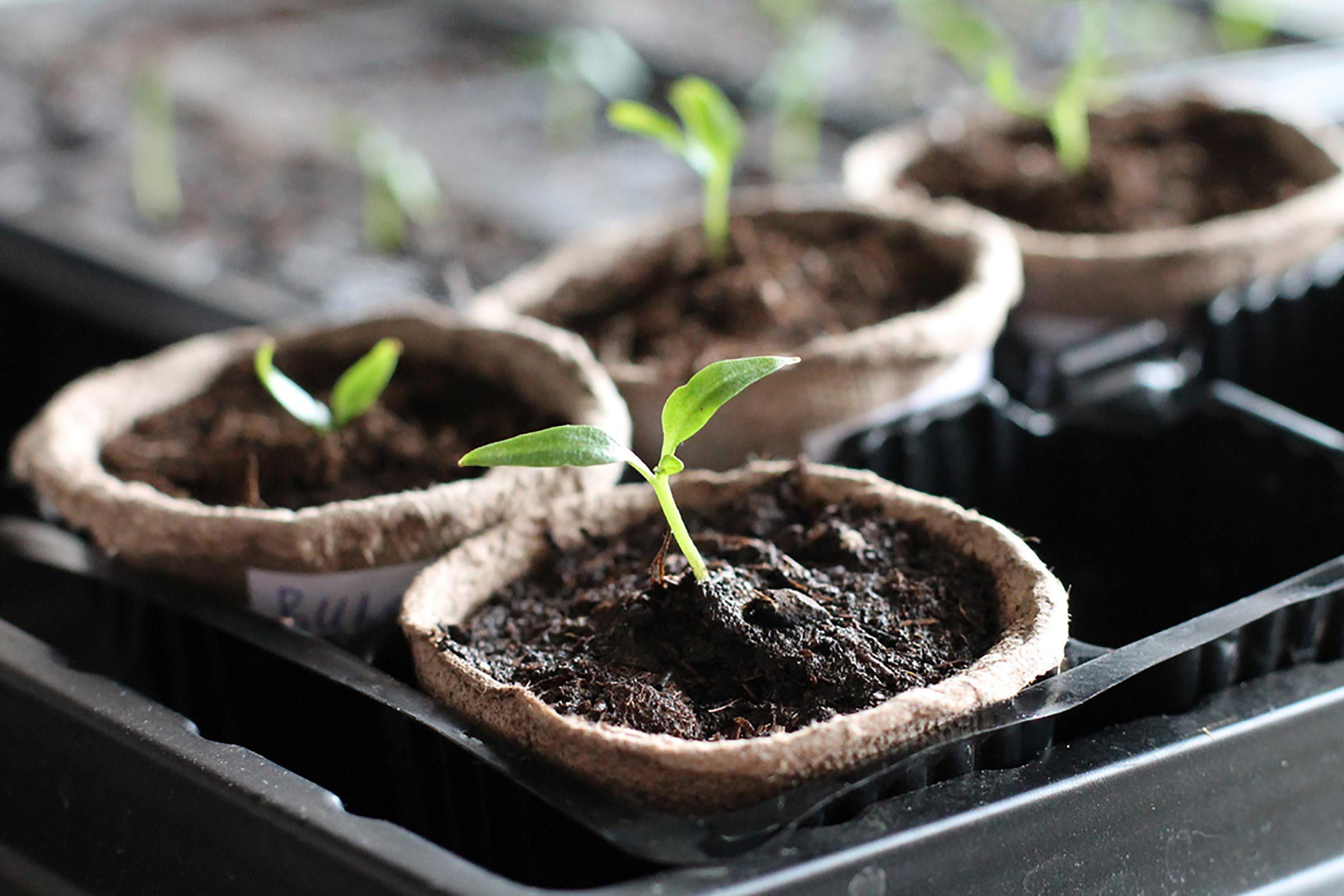 seedlings in tiny pots