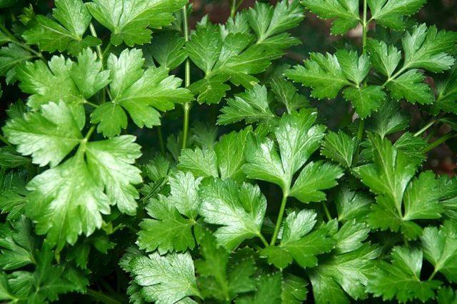 Closeup of fresh parsley