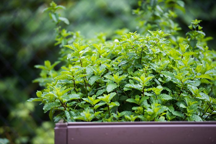 fresh mint growing in a planter box