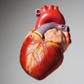 medical model of human heart