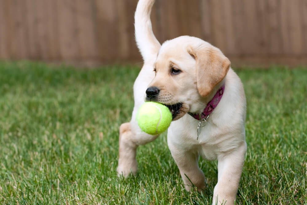 Puppy with tennis ball in mouth