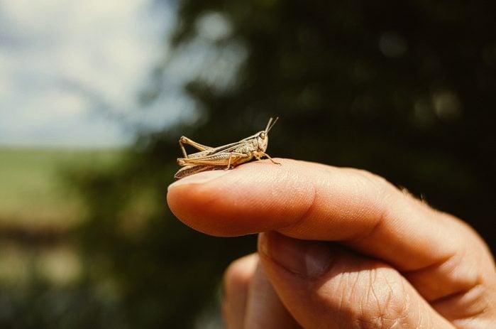 grasshopper on finger close up