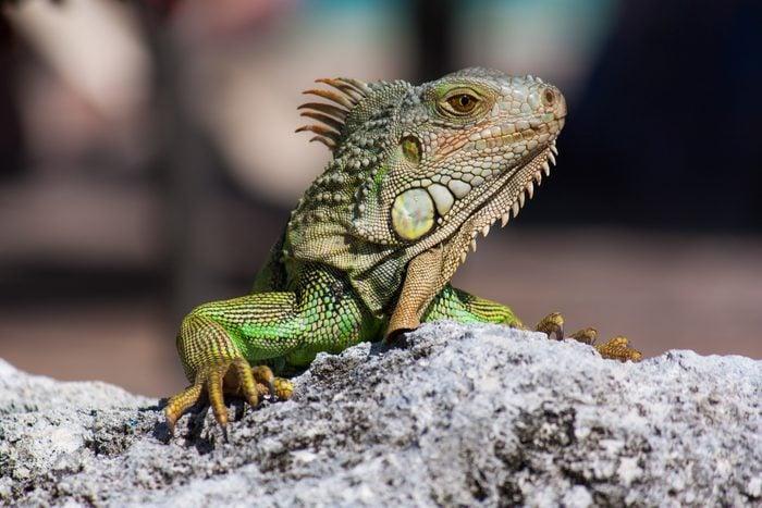 close up of iguana reptile