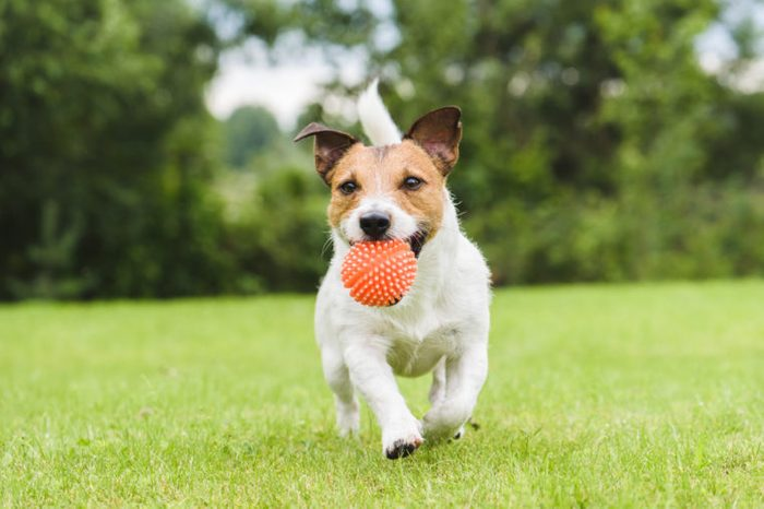 Pet dog running with an orange toy ball