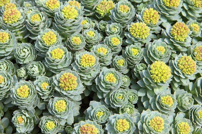 Rhodiola rosea plants outdoors green background