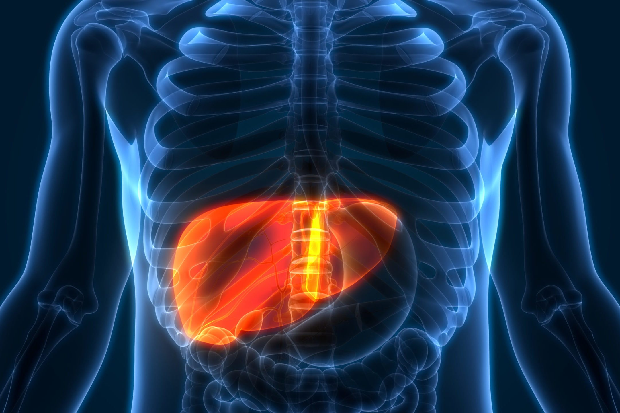 medical illustration of human liver anatomy