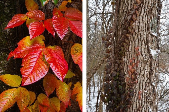 poison ivy fall and winter