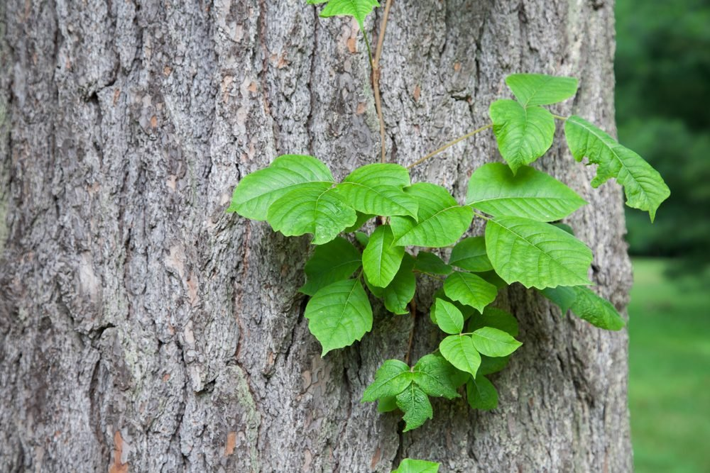 What Does Poison Ivy Look Like?