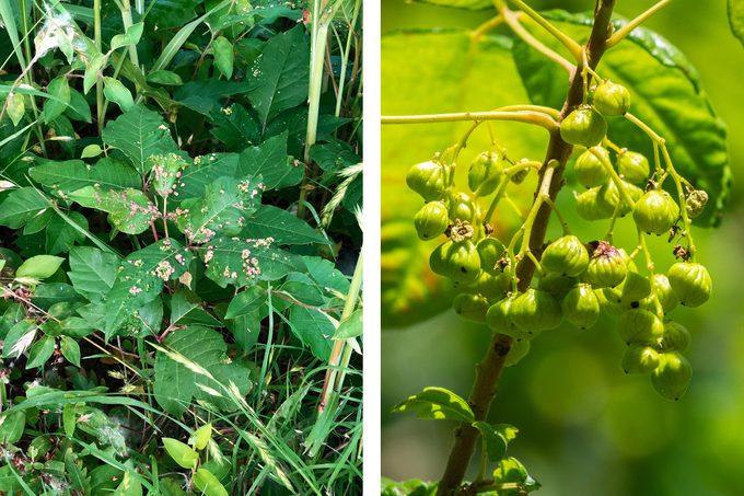 poison ivy spring summer