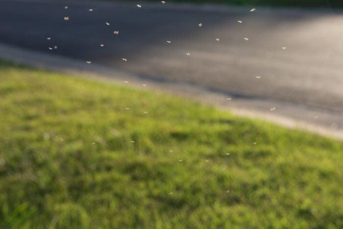 gnats flying around
