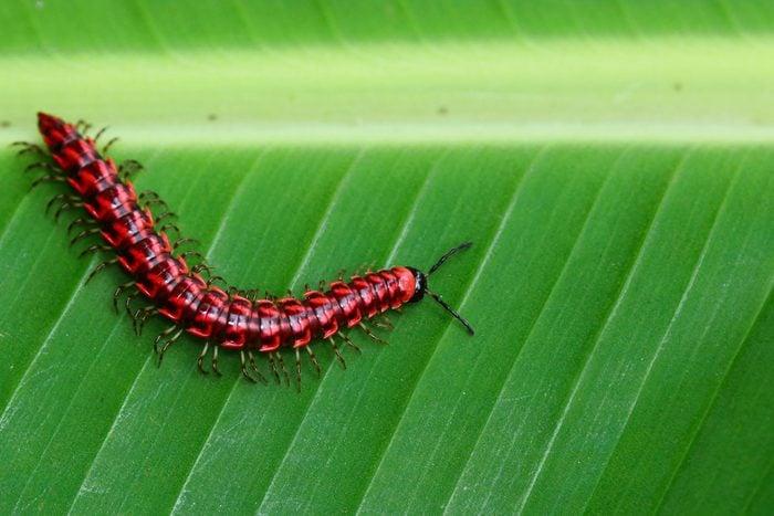 Flat backed millipedes walk on the green leaf