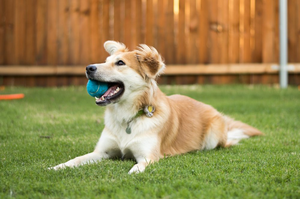 Happy Dog Laying in Backyard with Ball