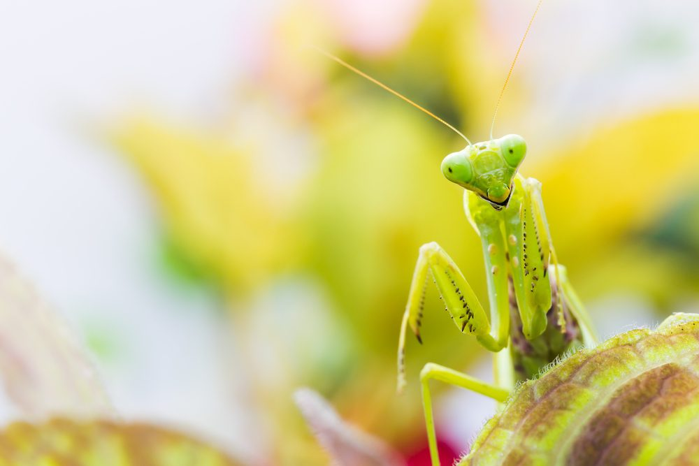 Female European Mantis or Praying Mantis, Mantis religiosa, on leaf