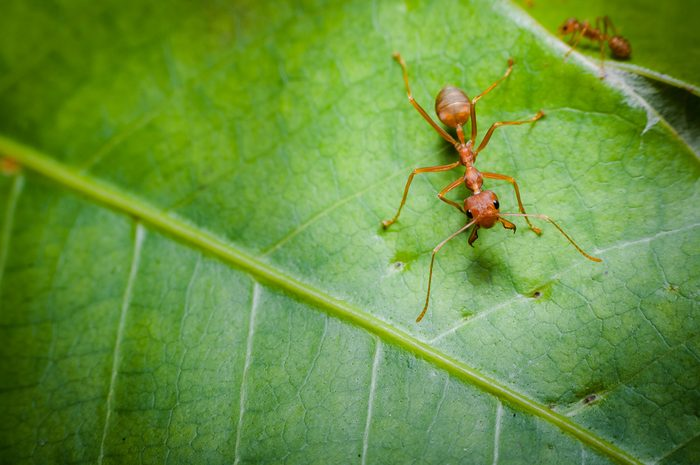 fire ant on a leaf