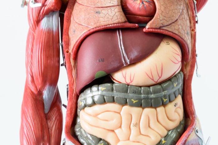 fake model of body organs