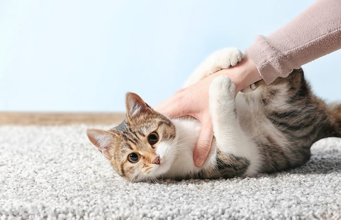 Cute funny cat playing with owner while lying on carpet at home