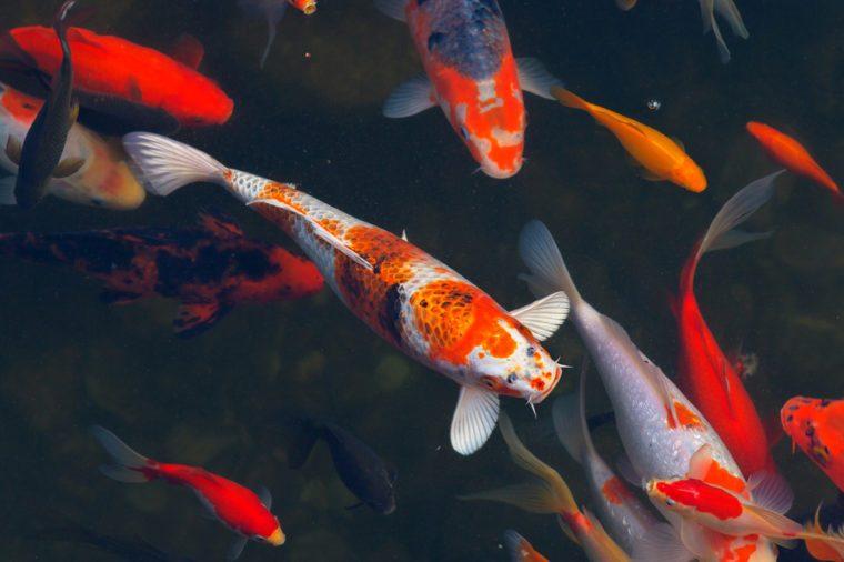 Japanese Koi Carps fish swimming in dark water.